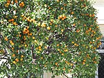 Orange tree in Menton.jpg