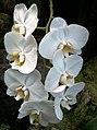 Orchids - White (5337547964).jpg