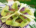 Organe mâle et femelle de Passiflora edulis.jpg