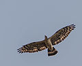 Oriental Honey Buzzard Male.jpg