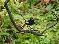 Oriental magpie robin 19.jpg