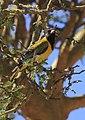 Oriolus larvatus -Hells Gate National Park, Naivasha, Kenya-8 (1).jpg