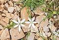 Ornithogalum umbellatum in Causse du Larzac (1).jpg