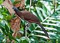 Ortalis cinereiceps -near Rancho Naturalista, Cordillera de Talamanca, Costa Rica-8.jpg
