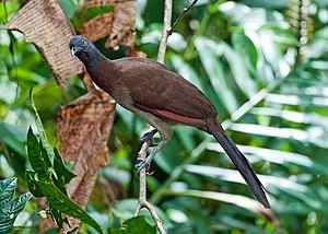 Grey-headed chachalaca - At Cordillera de Talamanca, Costa Rica