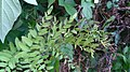 Osmunda tassel.jpg