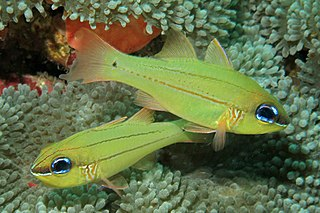 <i>Ostorhinchus sealei</i> species of fish
