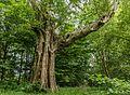 Oude berk (Betula ermanii). Locatie Hortus Haren.jpg