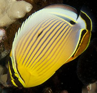 Oval butterflyfish species of fish