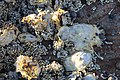Oysters - Exploring low tide in morning light at Daniel's Bay, Lunawanna (33912964985).jpg