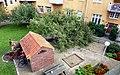 Päronträd (Pyrus communis) Ystad-2017.jpg