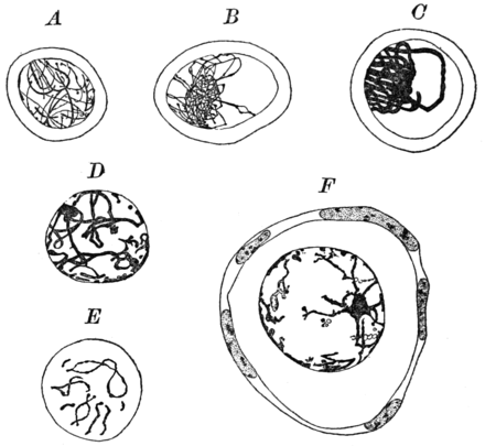 PSM V85 D128 Different stages in the development of the egg of the rabbit.png