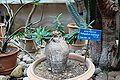 Pachypodium bispinosum Orto botanico Palermo 031.jpg