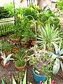 Pachypodium rosulatum - Tower Hill Botanic Garden.jpg