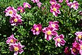 Paeonia lactiflora 01.jpg