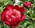 Paeonia lactiflora Nippon Beauty 2zz.jpg