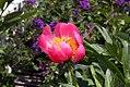 Paeonia lactiflora Pink Delight 2zz.jpg