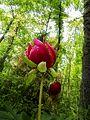 Paeonia peregrina1.jpg