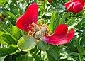 Paeonia peregrina kz03.jpg