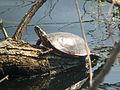 Painted Turtle - Flickr - GregTheBusker.jpg