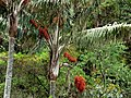 Palma de cerca del Quindío (Ceroxylon quindiuense) - Flickr - Alejandro Bayer (2).jpg