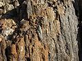 Pamphagidae Stone Grasshopper IMG 8270.JPG