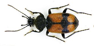 Ground beetle - A crucifix ground beetle (Panagaeus cruxmajor) got Charles Darwin into trouble in 1828.
