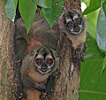 Panamanian Night Monkeys2.jpg