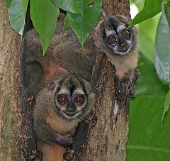 240px panamanian night monkeys2