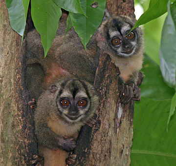 Panamanian night monkey Panamanian Night Monkeys2.jpg