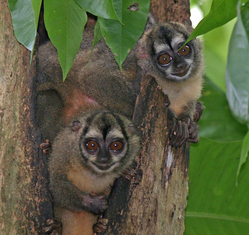 Panamanian night monkeys are few one of the few monogamous primate species.