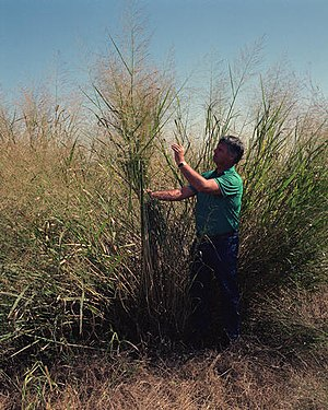 Ethanol fuel - Switchgrass