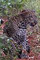 Panthère dans le Parc National de Lobéké.jpg