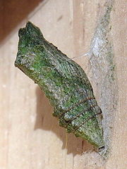 Vidlochvost feniklový (Papilio machaon) - kukla