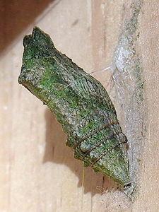 Papilio.machaon.jpg