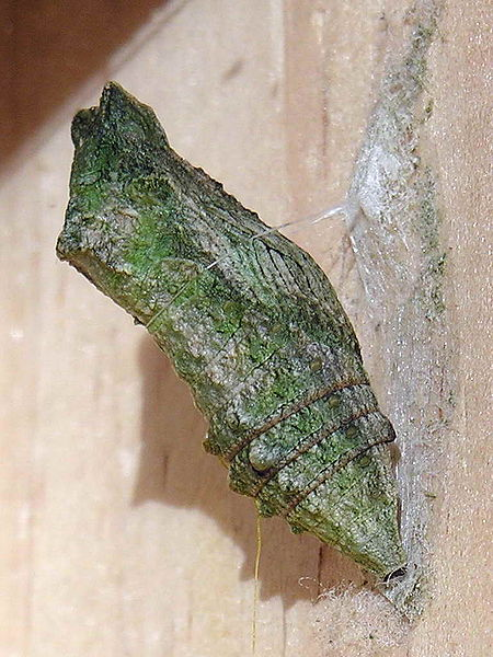 File:Papilio.machaon.jpg