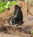 Papilio polymnestor Cramer, 1775 – Blue Mormon at Kottiyoor Wildlife Sacntuary (4).jpg