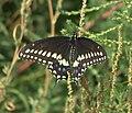 Papilio polyxenes asterius P1540060a.jpg