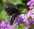 Papilio troilus P1010979a.jpg