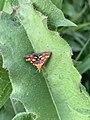 Papillon Pyrausta purpuralis observé à Saint-Maurice-de-Beynost dans l'Ain en juillet 2019 (2).jpg