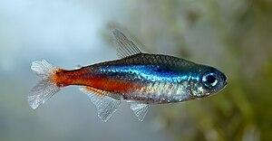 Paracheirodon innesi wikipedia la enciclopedia libre for Peces de agua dulce fria para estanques