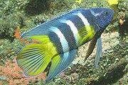 Paraplesiops bleekeri 1