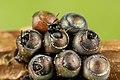 Parasitaire Wespjes komen uit eitjes van Wantsen.jpg