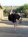 Parc national d'Awash-Ethiopie-Autruche (1).jpg