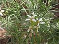 Parolinia glabriuscula - flowers.jpg