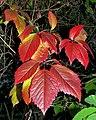 Parthenocissus quinquefolia20180912 14899.jpg
