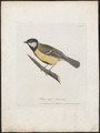 Parus major - 1700-1880 - Print - Iconographia Zoologica - Special Collections University of Amsterdam - UBA01 IZ16100097.tif