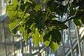 Paulownia tomentosa à Place d'Italie.jpg