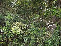 Pavetta crassicaulis (17145554440).jpg