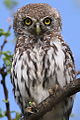 Pearl-spotted Owlet, Glaucidium perlatum, at Marakele National Park, Limpopo, South Africa (16123849349).jpg